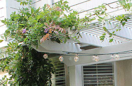 The wisteria looks beautiful against the new white pergola