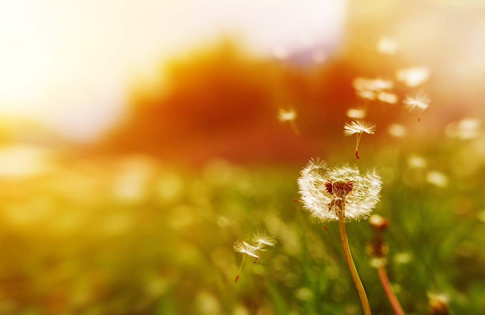 A dandelion flower in a field. The sun is bright orange and blurred in the background. The wind is blowing the seeds from the flower. The mood is optimistic and hopeful.